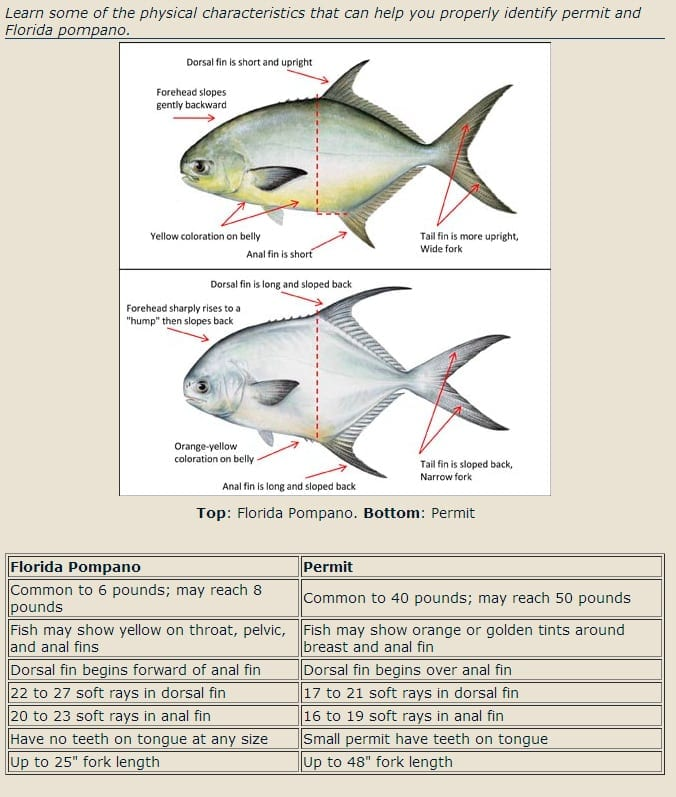 Identifying permit vs pompano fishbites for Permit fish florida